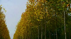 Swing tree and falling yellow leaves,tree crown. Stock Footage