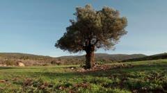 A single, old tree in an open meadow in Israel. Stock Footage