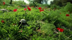 A tortoise in a red-flowered field in Israel. Stock Footage