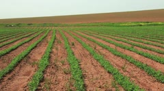 A large bean field in Israel. Stock Footage