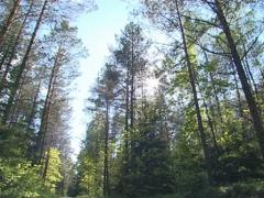 Sun penetrating through branches. Gravel road in a pine forest.  Stock Footage