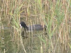 Black water birds with light nib swim in lake among the reeds. Stock Footage