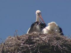 Stork with small storkies in nest on electric pole. Stock Footage