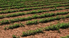 Panorama of rows of crops in Israel. Stock Footage