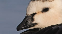 Barnacle Goose Stock Footage