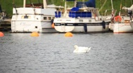 Swan and yachts in the port Stock Footage