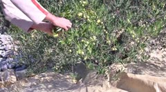 Young man picking olives Stock Footage