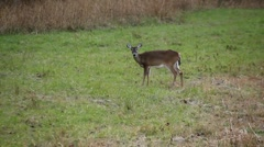 Whitetail deer standing in field Stock Footage