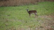 Stock Video Footage of Whitetail deer standing in field