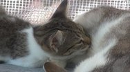 A mother cat feeding his son Stock Footage