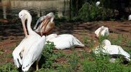 Stock Video Footage of Pelicans.