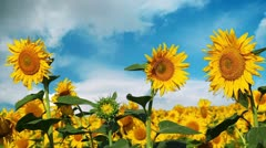 flowering sunflowers on a background cloudy sky - stock footage