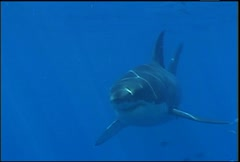 Great White Shark 04 - stock footage