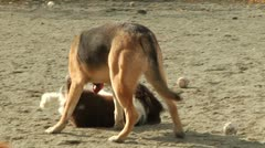 Three dogs playing with each other Stock Footage