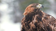Stock Video Footage of Golden Eagle