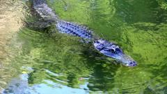 Large alligator floats on the river. - stock footage