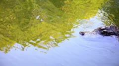 Stock Video Footage of Crocodile floating in the river. Top view.