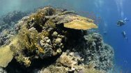 Stock Video Footage of 110612c 004 Tropical coral reef shallow water and diver