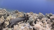 Stock Video Footage of 110505 woodhouse free swimming moray eel and coral reef