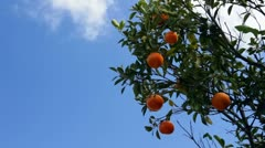 Oranges ripen in Florida sun and breeze against blue sky Stock Footage