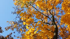 Autumn Tree Against Blue Sky Stock Footage