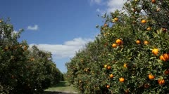 Oranges ripen in Florida grove in breeze on sunny day Stock Footage