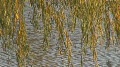 Beautiful willow Stock Footage