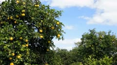 Grapefruit ripen in Florida grove on sunny day Stock Footage
