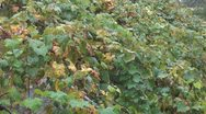 Grapes, fruits and leaves Stock Footage