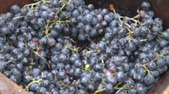 Making wine in old style harvest ripe red grapes rural farm day closeup detail Stock Footage