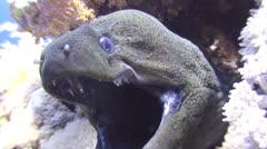 Morays, Giant moray, Gymnothorax javanicus(part 4) Stock Footage