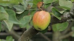 Single apple being picked Stock Footage
