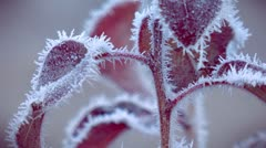 Red leaves in frost Stock Footage