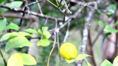 Lemon Tree Stock Footage