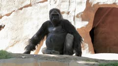 Ape in the wild Stock Footage