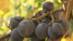 Insects on grapes bio organic rural country red food bee hornet detail macro  Stock Footage