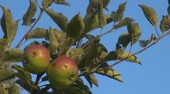 Stock Video Footage of Red apples on tree