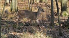 Doe struts thru forest - stock footage