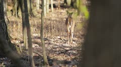 Startled doe runs off Stock Footage