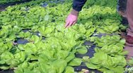 Stock Video Footage of Lettuce Growing in Greenhouse