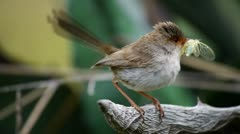Female superb fairy wren Stock Footage