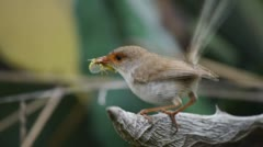 Female suberb fairy wren Stock Footage