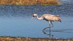 Common Crane Bird Stock Footage