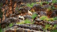 Goats grazing on a rocky hillside in Israel. Stock Footage