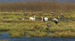Mute Swan and Common Crane Stock Footage
