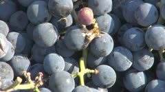 Insects on grapes zoom out red fruit harvest bee hornet sweet nature culture Stock Footage