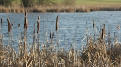 Typha Stock Footage