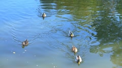 Duck family Stock Footage