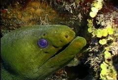 Green Moray Eel 03 Stock Footage