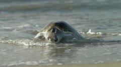 Turtle coming from Ocean Stock Footage
